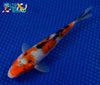 "6.75"" SANKE - Koi To The World - 3"