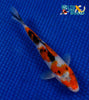 "6.75"" SANKE - Koi To The World - 5"