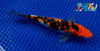 "6"" GINRIN SANKE - Koi To The World - 2"