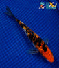 "6"" GINRIN SANKE - Koi To The World - 5"