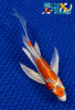 "6"" KIKUSUI BUTTERFLY - Koi To The World - 4"