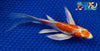 "6"" KIKUSUI BUTTERFLY - Koi To The World - 5"