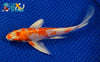 "7.25"" HARIWAKE BUTTERFLY - Koi To The World - 2"