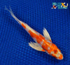 "7.25"" HARIWAKE BUTTERFLY - Koi To The World - 3"