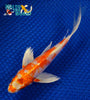 "7.25"" HARIWAKE BUTTERFLY - Koi To The World - 5"