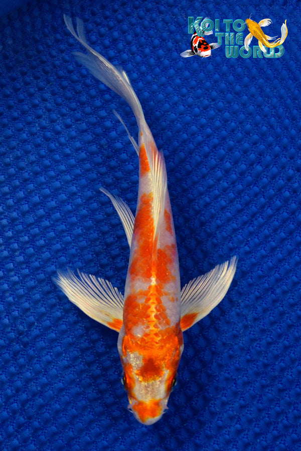 "7.25"" HARIWAKE BUTTERFLY - Koi To The World - 1"