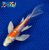 "6.5"" KIKUSUI BUTTERFLY - Koi To The World - 3"