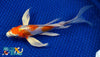 "7.25"" KIKUSUI BUTTERFLY - Koi To The World - 2"