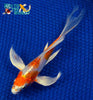 "7.25"" KIKUSUI BUTTERFLY - Koi To The World - 3"