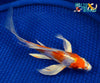 "7.25"" KIKUSUI BUTTERFLY - Koi To The World - 4"