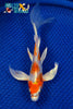 "7.25"" KIKUSUI BUTTERFLY - Koi To The World - 1"