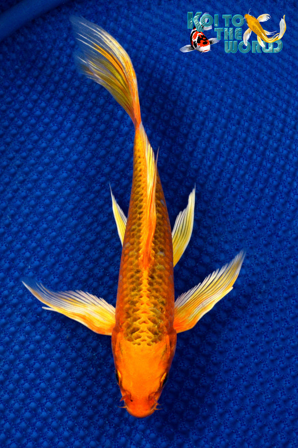 "8"" ORENJI MATSUBA BUTTERFLY - Koi To The World - 1"