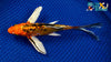 "7.25"" HEISEI NISHIKI BUTTERFLY - Koi To The World - 2"