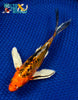 "7.25"" HEISEI NISHIKI BUTTERFLY - Koi To The World - 4"