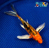 "7.25"" HEISEI NISHIKI BUTTERFLY - Koi To The World - 5"