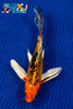 "7.25"" HEISEI NISHIKI BUTTERFLY - Koi To The World - 1"