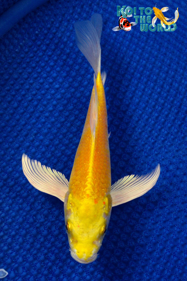 "8"" YAMABUKI OGON BUTTERFLY - Koi To The World - 1"