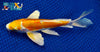 "7.5"" DOITSU HARIWAKE BUTTERFLY - Koi To The World - 2"