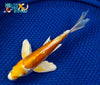 "7.5"" DOITSU HARIWAKE BUTTERFLY - Koi To The World - 3"