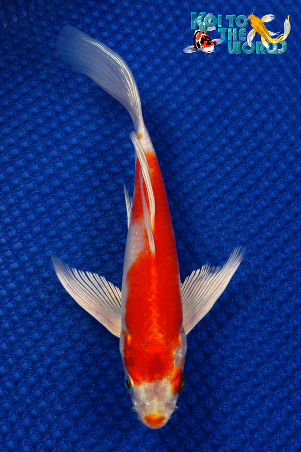 "7.5"" HARIWAKE BUTTERFLY - Koi To The World - 1"