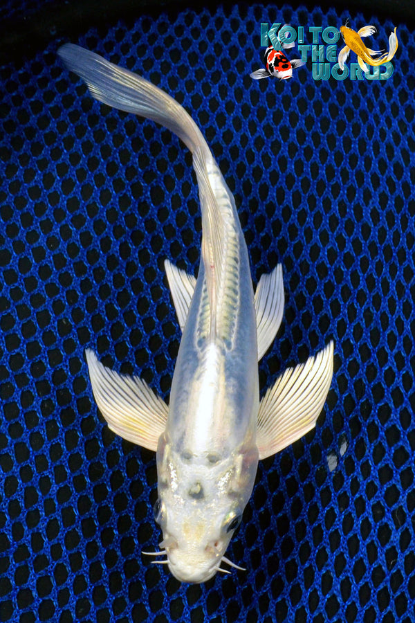 "7.5"" SKY BLUE KIKOKURYU BUTTERFLY - Koi To The World - 1"