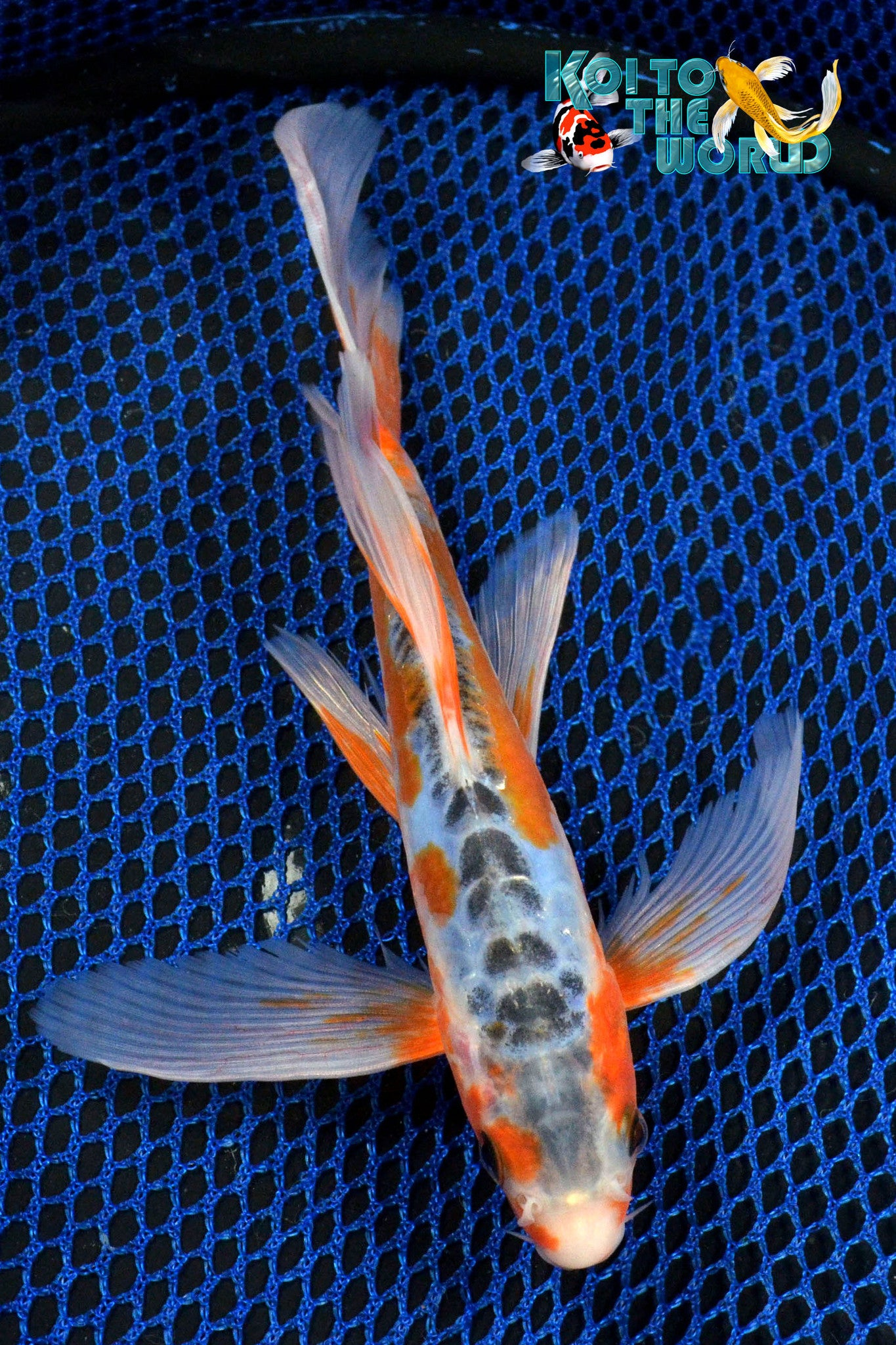 "8"" SHUSUI BUTTERFLY - Koi To The World - 1"