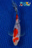 "6"" SANKE GOLD SHUBUNKIN - Koi To The World - 1"