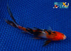 "6.5"" SANKE GOLD SHUBUNKIN - Koi To The World - 3"