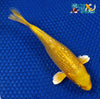 "6.5"" GINRIN YAMABUKI OGON - Koi To The World - 3"