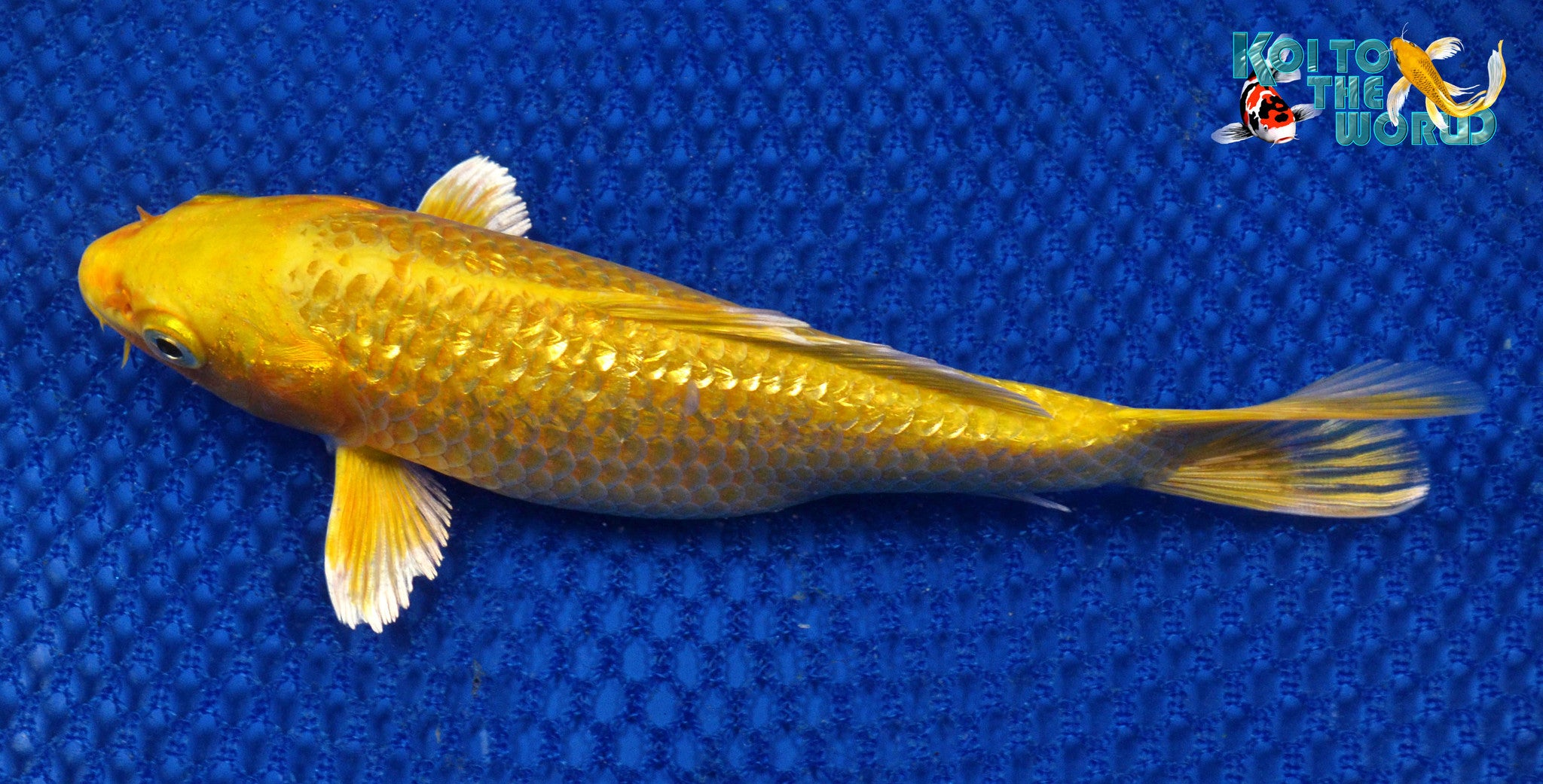 6 5 ginrin yamabuki ogon koi to the world for Yamabuki ogon koi for sale