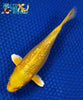 "6.5"" GINRIN YAMABUKI OGON - Koi To The World - 5"