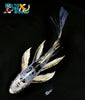 "6.75"" DOITSU SHIRO BEKKO BUTTERFLY - Koi To The World - 4"