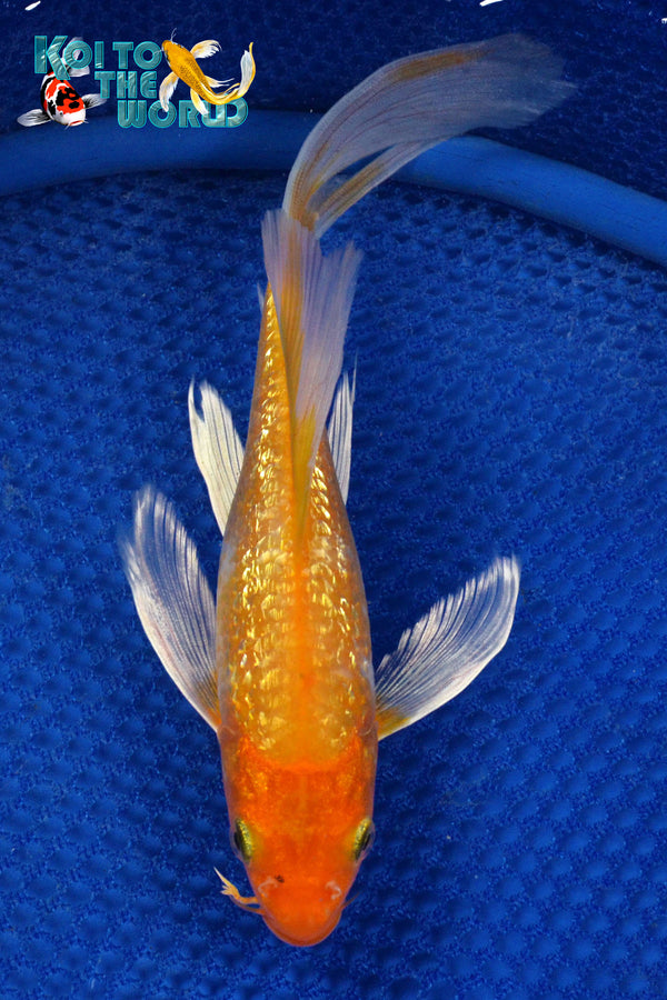 "8"" GINRIN HARIWAKE BUTTERFLY - Koi To The World - 1"