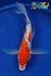 "8.5"" GINRIN SANKE BUTTERFLY - Koi To The World - 1"