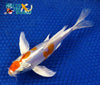 "6"" KIKUSUI BUTTERFLY - Koi To The World - 3"