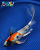 "8.5"" SHOWA BUTTERFLY - Koi To The World - 3"