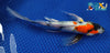 "8.5"" SHOWA BUTTERFLY - Koi To The World - 4"