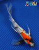 "8.5"" SHOWA BUTTERFLY - Koi To The World - 5"