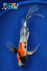 "8.5"" SHOWA BUTTERFLY - Koi To The World - 1"