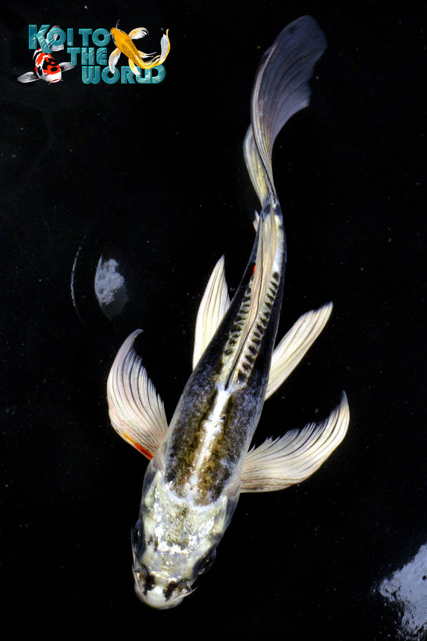 "7.5"" KIKOKURYU BUTTERFLY - Koi To The World - 1"
