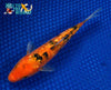 "6.5"" GINRIN AKA BEKKO - Koi To The World - 5"