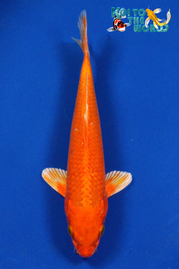 "8.5"" ORENJI OGON - Koi To The World - 1"