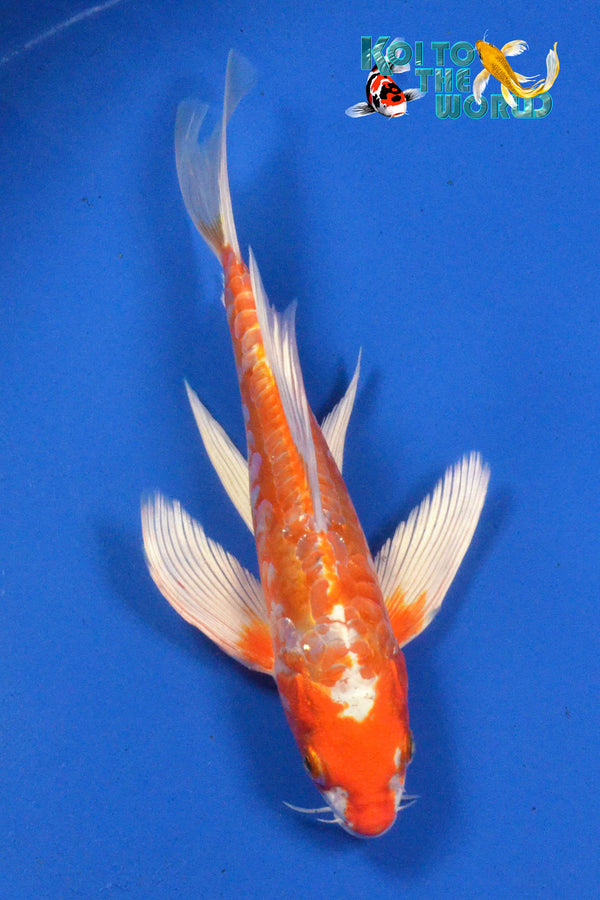 "9"" KIKUSUI BUTTERFLY - Koi To The World - 1"