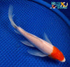 "7.5"" TANCHO KOHAKU BUTTERFLY - Koi To The World - 5"