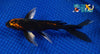 "6"" KARASU BUTTERFLY - Koi To The World - 2"