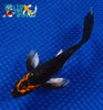 "6"" KARASU BUTTERFLY - Koi To The World - 3"