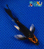 "6"" KARASU BUTTERFLY - Koi To The World - 5"