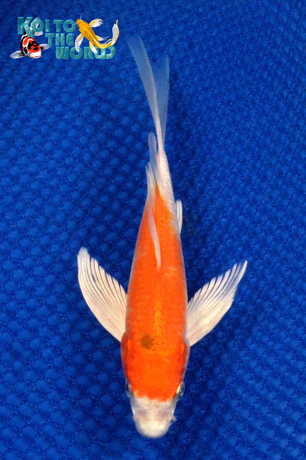 "6.5"" HARIWAKE BUTTERFLY - Koi To The World - 1"