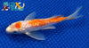"6.25"" GINRIN KOHAKU BUTTERFLY - Koi To The World - 2"
