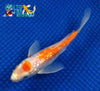 "6.25"" GINRIN KOHAKU BUTTERFLY - Koi To The World - 3"